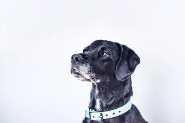 愛犬が白内障になったら目薬で治る?それとも手術が必要?