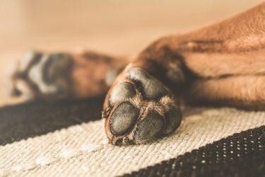 犬の腫瘍は破裂することも。破裂するとどうなる?【獣医師が解説】