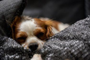老犬に多い子宮蓄膿症とは?症状や治療費用について