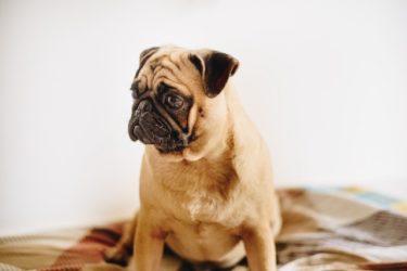 愛犬のオムツ、どうやって選ぶ?よくあるトラブルと対処法も解説!
