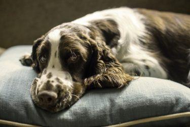 【犬のガン(癌)と食事】手作りのポイントと注意点を獣医師が解説