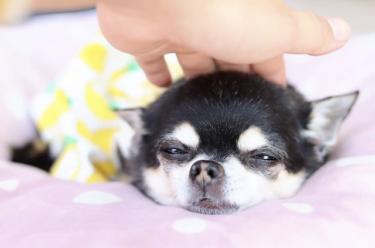 【老犬の震え】原因や注意点、対処法を獣医さんに聞きました