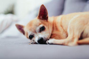 老犬は便秘になりやすい!食事の見直し、マッサージなどで予防して