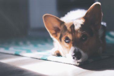 シニア犬がかかりやすい椎間板ヘルニア。症状や治療法は?予防はできる?