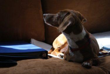 老犬になると目やにが増えるのはなぜ?原因と対処法を獣医さんに聞きました!