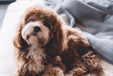 シニア犬フードの選び方は?老犬に必要な栄養素を獣医師が解説!