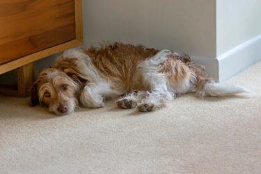 【老犬の血便は要注意!】原因と対策を獣医さんに聞きました