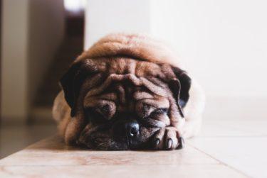 老犬と日光浴の素敵な関係♪気分転換や健康維持に◎【獣医師解説】