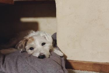 老犬が立てないのは病気が原因?後ろ足に力が入らないときの介護の仕方も解説