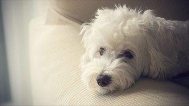 寝たきりの犬は床ずれ(褥瘡)に注意!予防法を獣医さんに聞きました