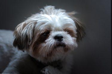 リンパ腫の症状や治療法を獣医師が解説!リンパ腫になった愛犬のためにできること