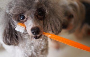 犬の歯磨きの仕方を獣医師がわかりやすく解説!シニア犬こそ習慣化してあげて