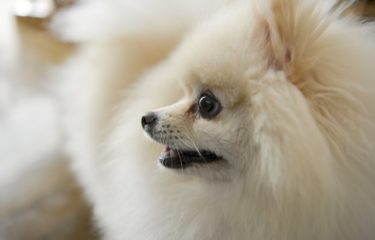 【小型犬に多い気管虚脱】症状や治療法について獣医さんに聞きました