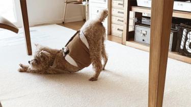 犬のオムツかぶれを予防する!必要な対策を獣医さんに聞きました
