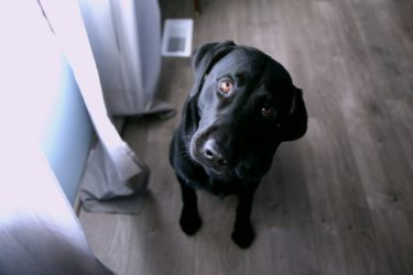 中型・大型犬に多い甲状腺機能低下症とは?症状や治療法を獣医師が解説!