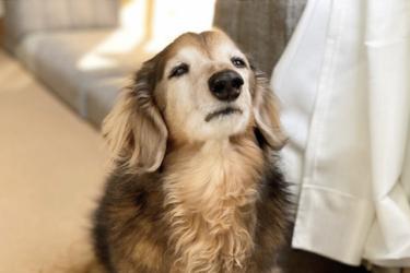 【獣医師が解説】腎臓病の犬のフードはどれがいい?食べないときは?