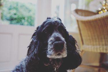 【獣医師監修】ガン(癌)になった愛犬の痛みを和らげてあげるためにできること