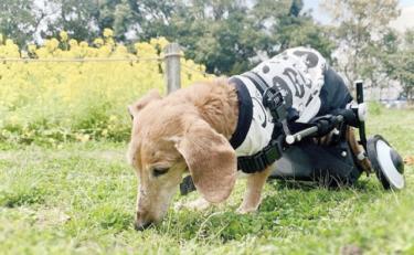 【シニア犬の介護にも◎】犬用車椅子のメリットと選び方を獣医師が解説