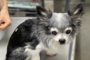 シニア犬に鍼灸がおすすめな理由は?鍼灸の効果を獣医師が解説!
