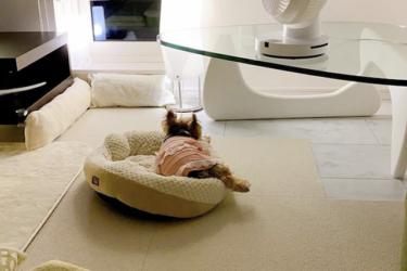 シニア犬に優しい滑り止めはどれ?獣医師がオススメする床材とは