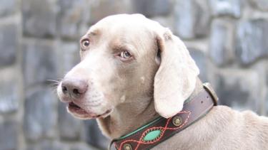 シニア犬のイボやしこりは皮膚の腫瘍?対策を獣医さんに聞きました