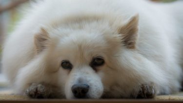 【犬の前庭疾患】原因や症状、介護の仕方などを獣医師が解説