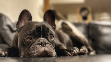 【保存版】老犬におすすめなサプリメントは?関節の保護、認知症の予防に