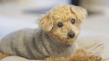 老犬がかかりやすい膀胱炎。予防、再発防止のためにできること