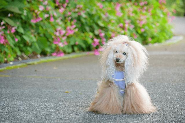 メスの老犬