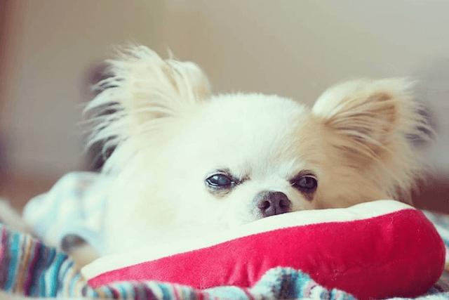 ベッドから離れないチワワの老犬