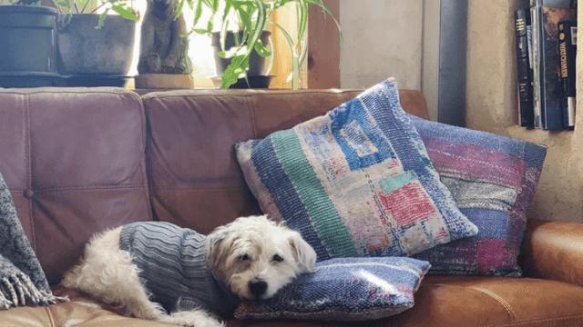 ソファでくつろぐ老犬