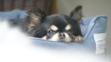 ベッドで横になる老犬