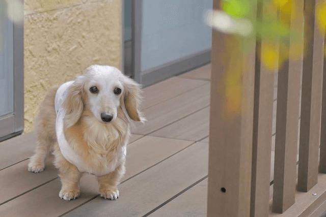 ベランダで佇む老犬