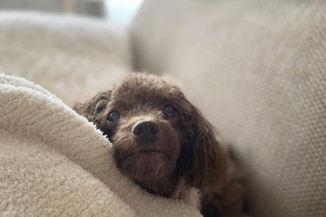 ブランケットにくるまる老犬