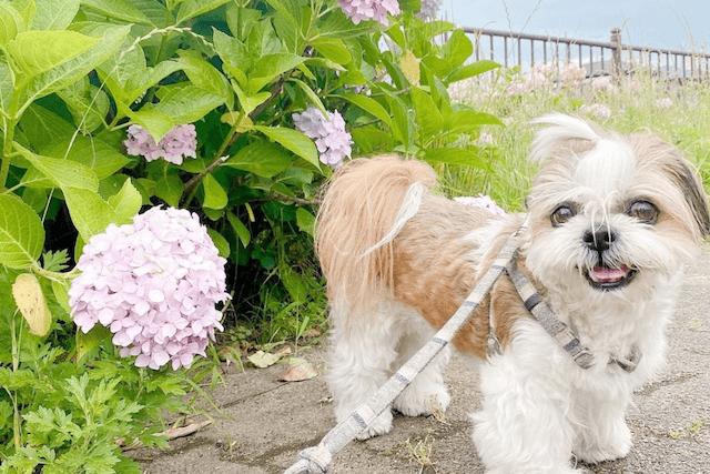 紫陽花と老犬