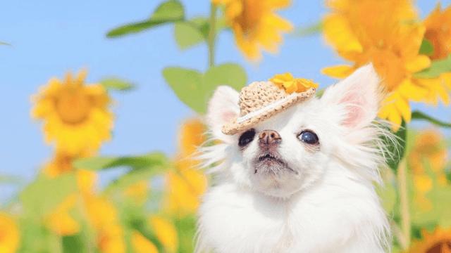 向日葵と老犬