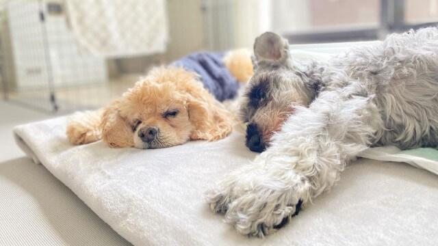 2匹の寝ている老犬