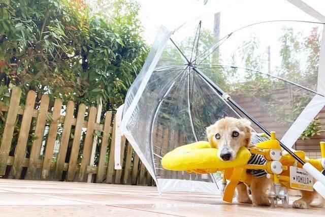 梅雨と老犬