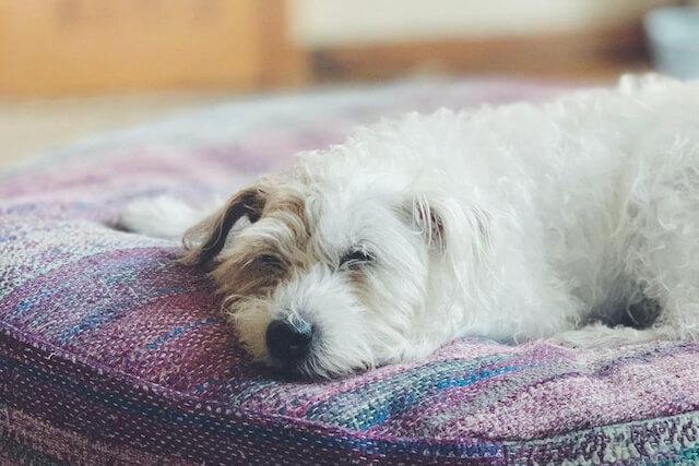 クッションの上で寝ている老犬