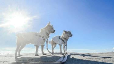 【老犬のための筋力トレーニング】お家で気軽にできる筋トレをご紹介します!