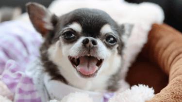 老犬の歯石は取ってあげるべき?麻酔と無麻酔の処置はどう違う?