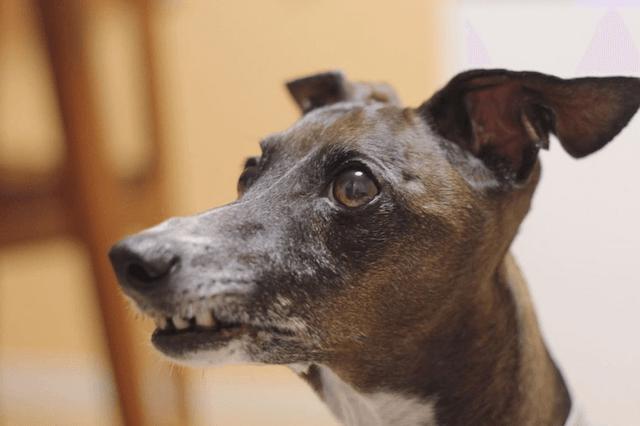 横を向く老犬