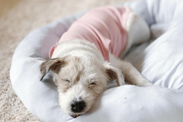お昼寝中の老犬