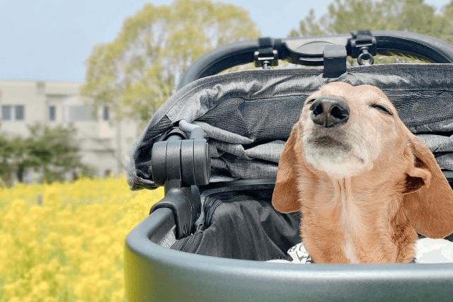 カートに乗る老犬